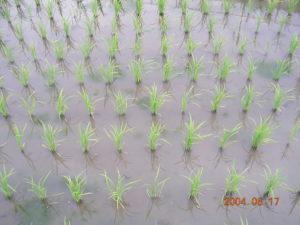 自然農法無農薬田の様子、コナギの発生は皆無