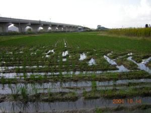 稲生育期間中は発生が全く見られなかったコナギが(写真1)、コンバインのキャタピラにより土壌構造(トロ土層)が崩れたところで収穫後密生した。