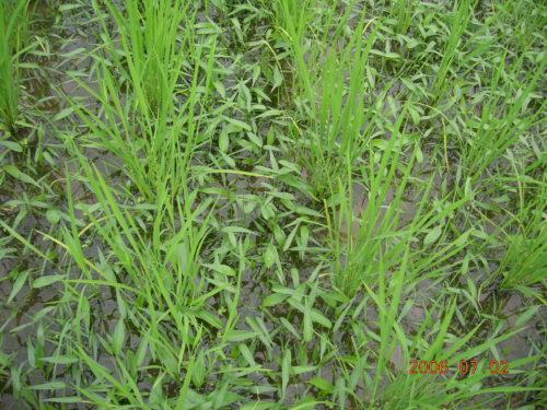 自然農法無農薬田 コナギ多発