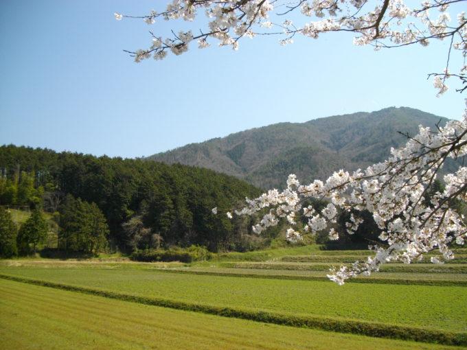 春の自然農法無農薬田