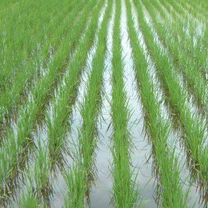 雑草発生が皆無の自然農法無農薬の田んぼ