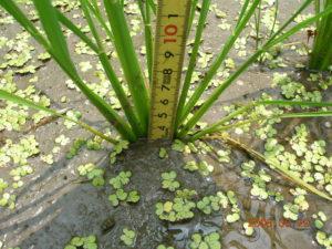 自然農法無農薬の稲(開帳型)
