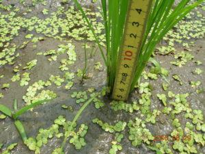 自然農法無農薬の稲(寸胴型)