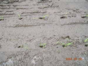 田植え後にできた植え付け穴(自然農法無農薬の田んぼにて)