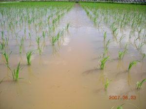 自然農法無農薬栽培の雑草制御水田の様子