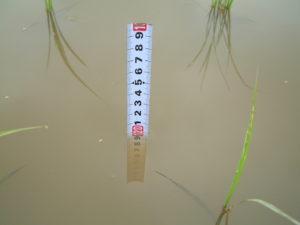 水深10cm(自然農法無農薬米を育てる田んぼにて)